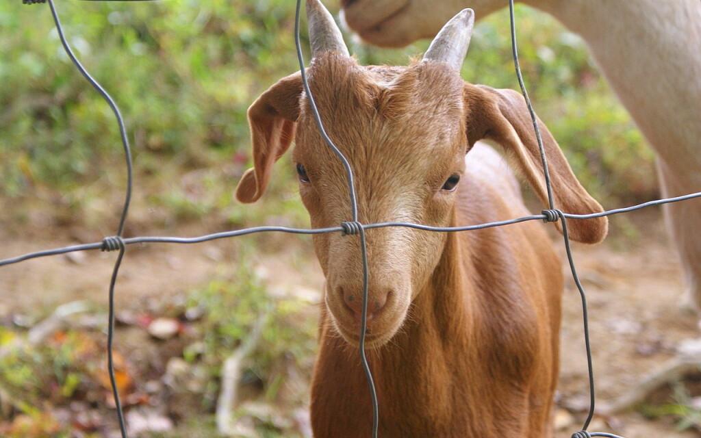 goat-5602312_1280
